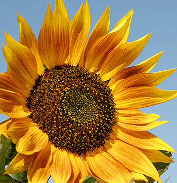 sunflower_big1